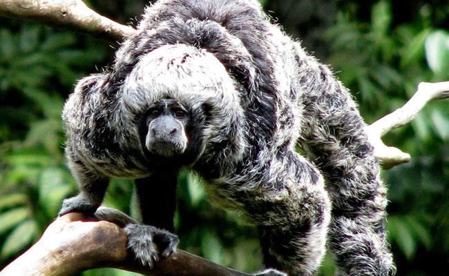 Mono Huapo Negro