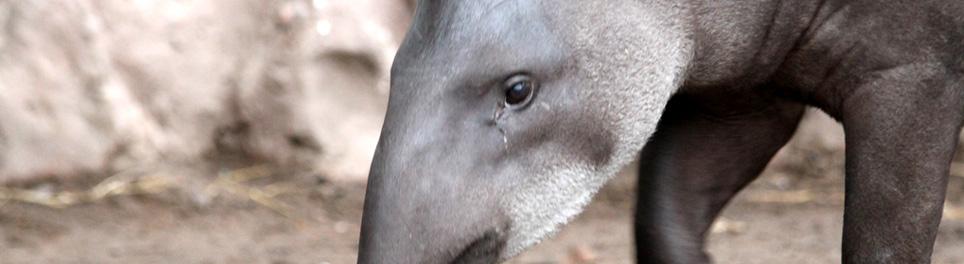 Tapir Amazonico