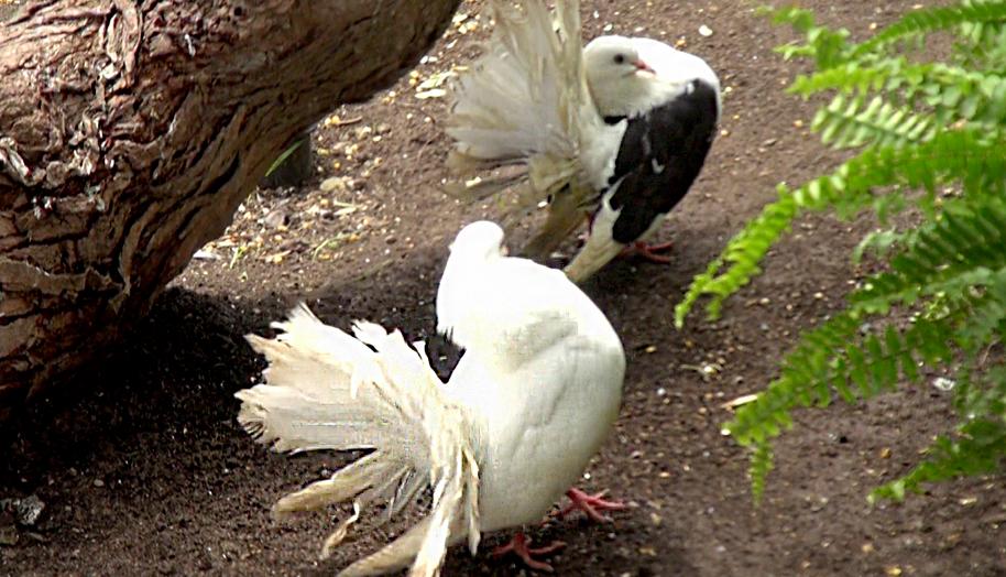 Paloma abanico
