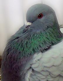 Mondai pigeon
