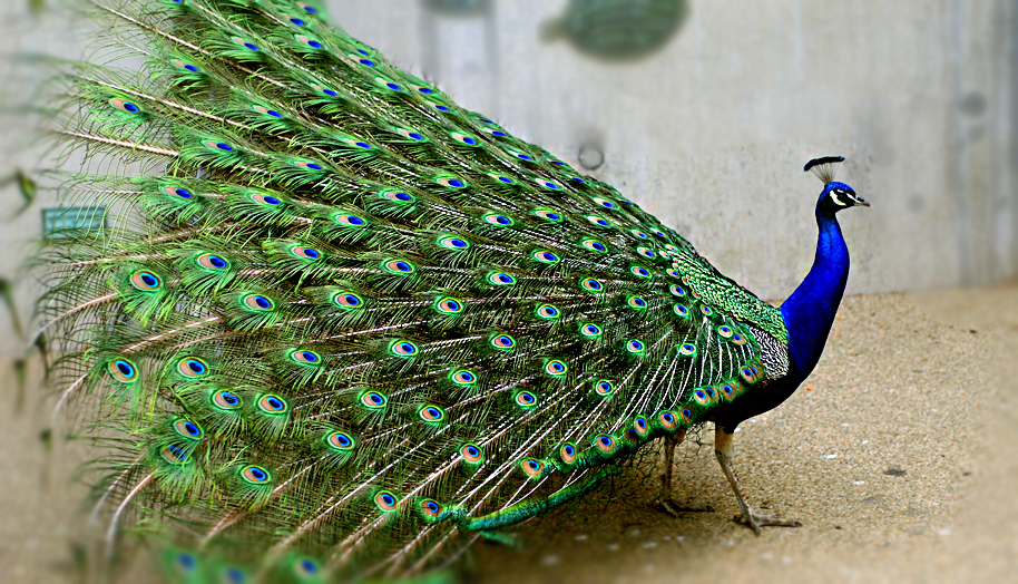Pavo real - Fotos de un pavo real ...