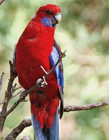 Rosella roja