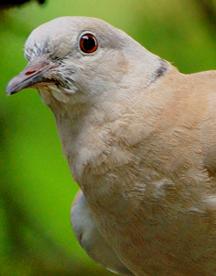 Paloma Eurasiatica de Collar