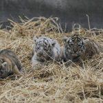 TRES NUEVAS TIGRESAS  EN EL PARQUE DE LAS LEYENDAS