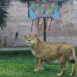Cumpleaños de la leona Chiclayanita