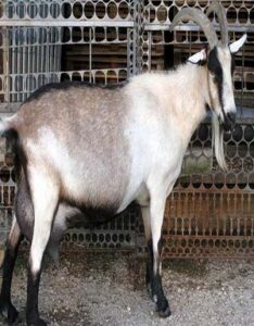Cabra Alpina