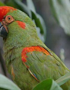 Guacamayo Frente Roja