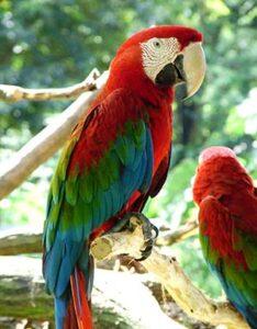 Guacamayo Rojo y Verde