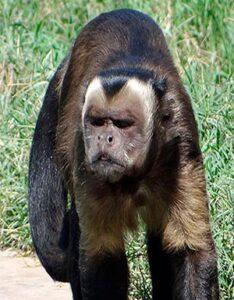 Mono Machín Negro