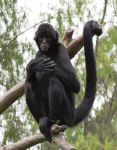 Mono Maquisapa Negro