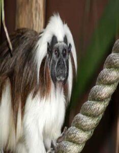 Mono Tití Barbablanca