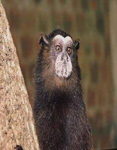 Mono Pichico Común
