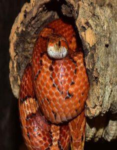 Serpiente de Maíz