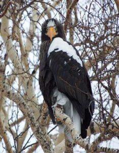 Águila plomiza