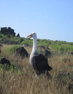 Albatro  de las Galápagos