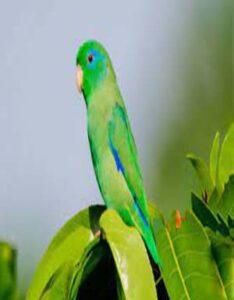 Periquito esmeralda