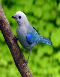 Tángara azulada
